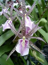 Two of our most popular orchids, Charles M Fitch and Sharry Baby, seedling size