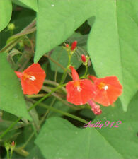 Orange Noah Morning Glory - ipomoea trumpet - 12 fresh seeds