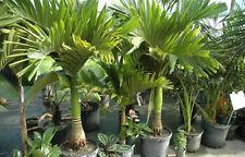 LIVE - (ARECANUT) - Hybrid Betel - Supari - HUGES PRODUCTION 4 Nos PLANT