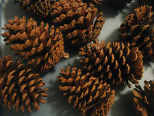 "TEXAS PINE CONES, X-LARGE (5"" TO 5-1/2""),  LOBLOLLY AND SLASH, SET OF 12"