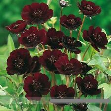 20 Rare Chocolate Cosmos Flower Seeds, Professional Pack, Beautiful Coreopsis