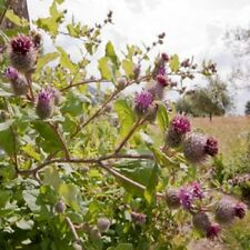 Wildflower Seeds - Lesser Burdock - 50 Seed