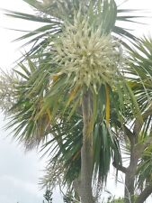 CORDYLINE AUSTRALIS- NEW ZEALAND CABBAGE PALM 50 SEEDS- CHEAPEST & BEST