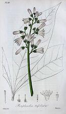 Bonplandia Trifoliata Angostura Venezuela Bitter Getränk Blüte Blatt Botanik