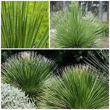 10 graines Dasylirion texanum, plantes grasses, cactus,seed succulents F