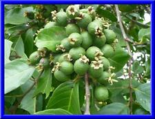 Guava Fruit Seeds  GUAVA Psidium Guajava Fruit Tree 12 Seeds   Delicious fruit
