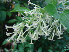 Night Blooming jasmine 5 cuttings - Cestrum nocturnum - wonderful fragrance!