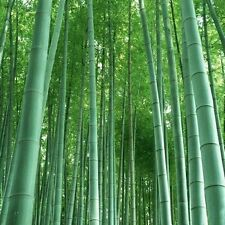 100 Seeds Fresh Giant Moso Bamboo Seeds for Home Garden Plant 95% Germination