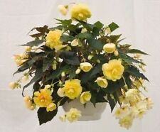 * HANGING BEGONIA PEACHES 'N CREAM *  SHOWY!! SEEDS