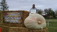 2 Atlantic Giant Pumpkin Seeds from 1491.5 Gates 2015