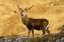 Framed Print - Young Highland Red Stag (Picture Poster Animal Deer Bull Cow Art)