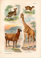 Stampa antica animali Mosco Lama Giraffa Kanchil 1914 Old antique print