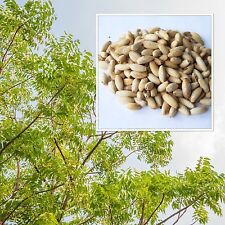 Azadirachta indica 20 Seeds, Neem, Nimtree, Indian Lilac, tropical Tree Seeds