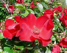30 JAPANESE RED ROSE Bush Rosa Rugosa Rubra Rugrose Fragrant Flower Seeds + Gift