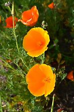Kalifornischer Feuermohn, Copper Queen Mohn Samen  50+