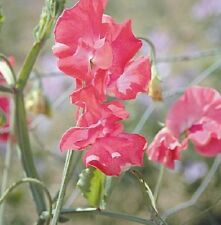 Sweet Pea - Daily Mail - 30 Seeds