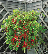RARE HANGING RED CHERRY TOMATO Vegetable Seeds -50 Fresh Seeds Pack