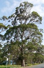 SOUTHERN MAHOGANY (Eucalyptus botryoides) 100 seeds