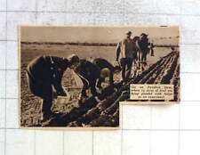 1937 12 Acres Of Land Being Planted With Tulips Experiment Ayrshire Farm