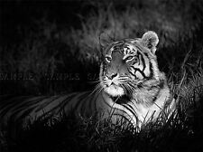 BENGAL TIGER BLACK WHITE SITTING PHOTO ART PRINT POSTER PICTURE BMP1211A