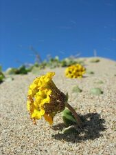20 YELLOW SAND VERBENA Coastal Abronia Latifolia Arenaria Flower Seeds *Comb S/H