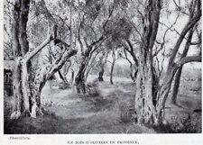 IMAGE 1901 PRINT UN BOIS D OLIVIER EN PROVENCE