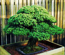 50 seeds of Japanese White Spruce Pine, Pinus parviflora Bonsai tree
