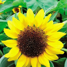 FD1551 Low Sunflower Helianthus Seed Flower Seed For Good Luck ~1 Pack 20 Seed A