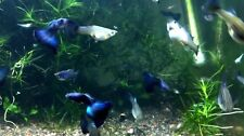 Blue Hawaiian Moscow Show Guppies 1 Trio 2 Months Old