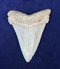 "3.11"" White Angustiden Shark Tooth High Quality Land SC Fossil NO REPAIR (MT-11)"
