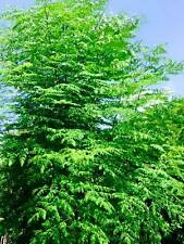 "24"" Moringa Oleifera Drumstick Cutting Miracle Horseradish Mothers Tree of Life"