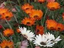Flower - Arctotis - Harlequin Mixed - 75 Seeds - Large Packet