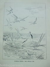 ANTIQUE PRINT DATED 1923 BIRDS & THEIR YOUNG COMMON TERNS BY ROLAND GREEN