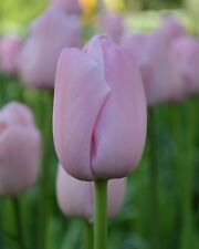 5 Tulip Bulbs ‑ PINK DIAMOND ‑,size: 12 cm/up, Now Shipping