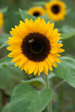 Sunflower Seeds - DAFNA - Helianthus Annuus -EXCELLENT FOR CUT FLOWERS- 10 Seeds