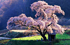 Framed Print - Oriental Cherry Blossom Tree in a Japanese Park (Picture Poster)