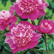 Peony/peonies plant 'Madame Emile Debatene' 3/5 eyes bare root Shipping Now