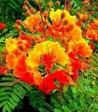 * RED MEXICAN BIRD OF PARADISE-CAESALPINIA PULCHERRIMA * SEEDS