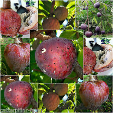 15 Seeds Red Custard Apple Tree AKA bullock's Heart,Jamaican Apple Fruit Seeds