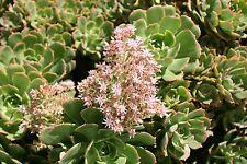 AEONIUM (Aeonium lancerottense) 20 seeds