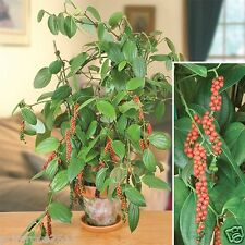 Hybrid Bonsai / Bush Black Pepper High yield Dwarf Variety  - 1 Live plant