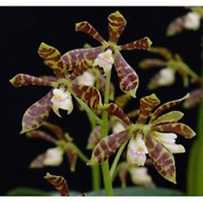 ENCYCLIA BOOTHIANA ORCHID SPECIES FRAGRANT MINIATURE FLOWERS