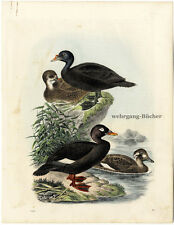 Sea ducks, Original antique hand colored engraving, from 1861.
