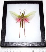 REAL FRAMED PINK GRASSHOPPER CHONDRACRIS ROSEA INSECT