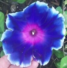 50 MIXED JAPANESE MORNING GLORY Ipomoea Nil Flower Vine Seeds +Gift & Comb S/H