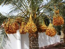 5 Plant Lot Medjool Date Palm Seedling Fruit Phoenix dactylifera  Xeriscape