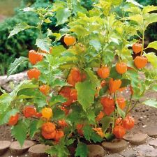 PHYSALIS peruviana Cape Gooseberry Seeds (F 174)