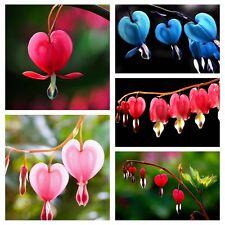 New Lantern Bleeding Heart Seeds Lantern Flower Plant Garden Multi-Color 10Pcs