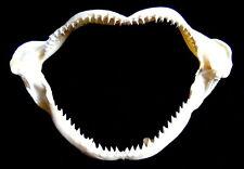 Machoire de Requin,15 à 20cm,coquillage,déco,cadeau,collection,Mer,Taxidermie