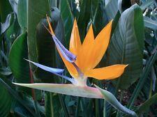 BIRD OF PARADISE (Strelitzia reginae) 20 seeds